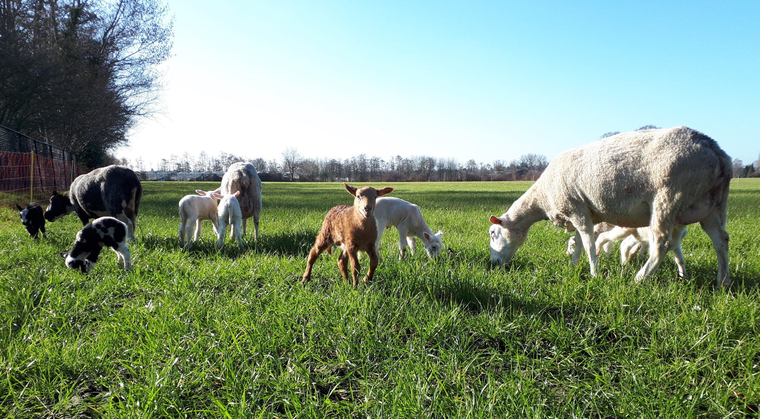 schapenboerderij lammetjes